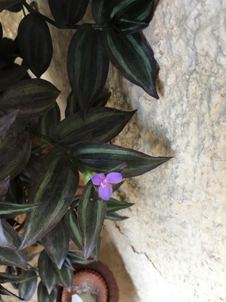 Wandering Jew Flowers